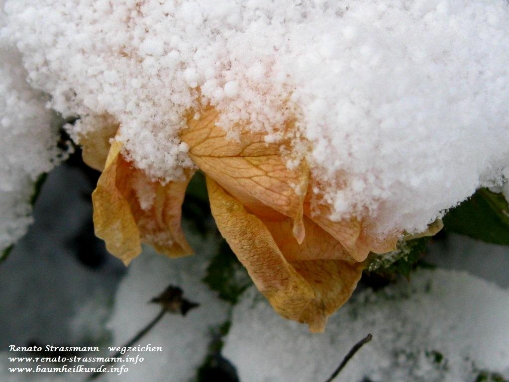 Blühende Rose unterm Schnee