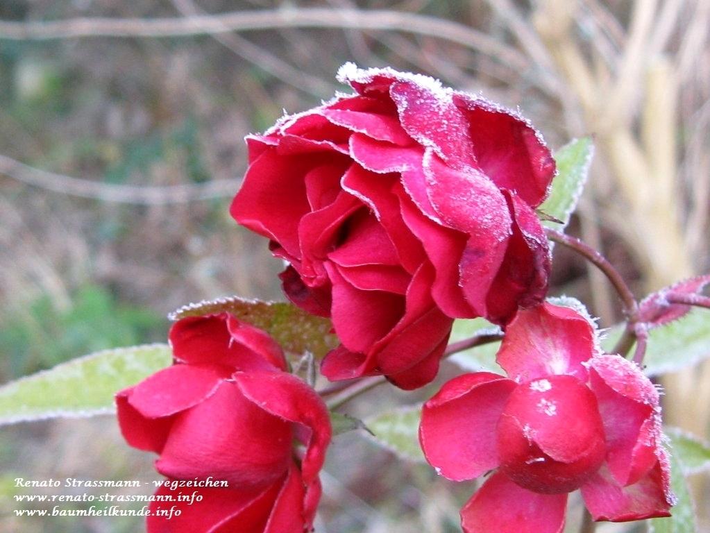 Rosen in kaltem Winter